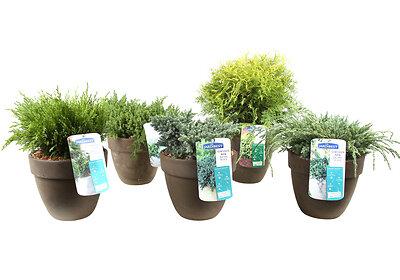 Juniperus Blue Carpet en pot de 5L