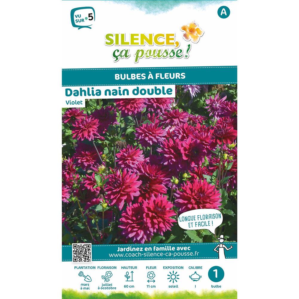 Bulbe à fleur Dahlia nain double violet I x1