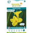 Bulbe à fleur Canna nain feuillage vert jaune I x1
