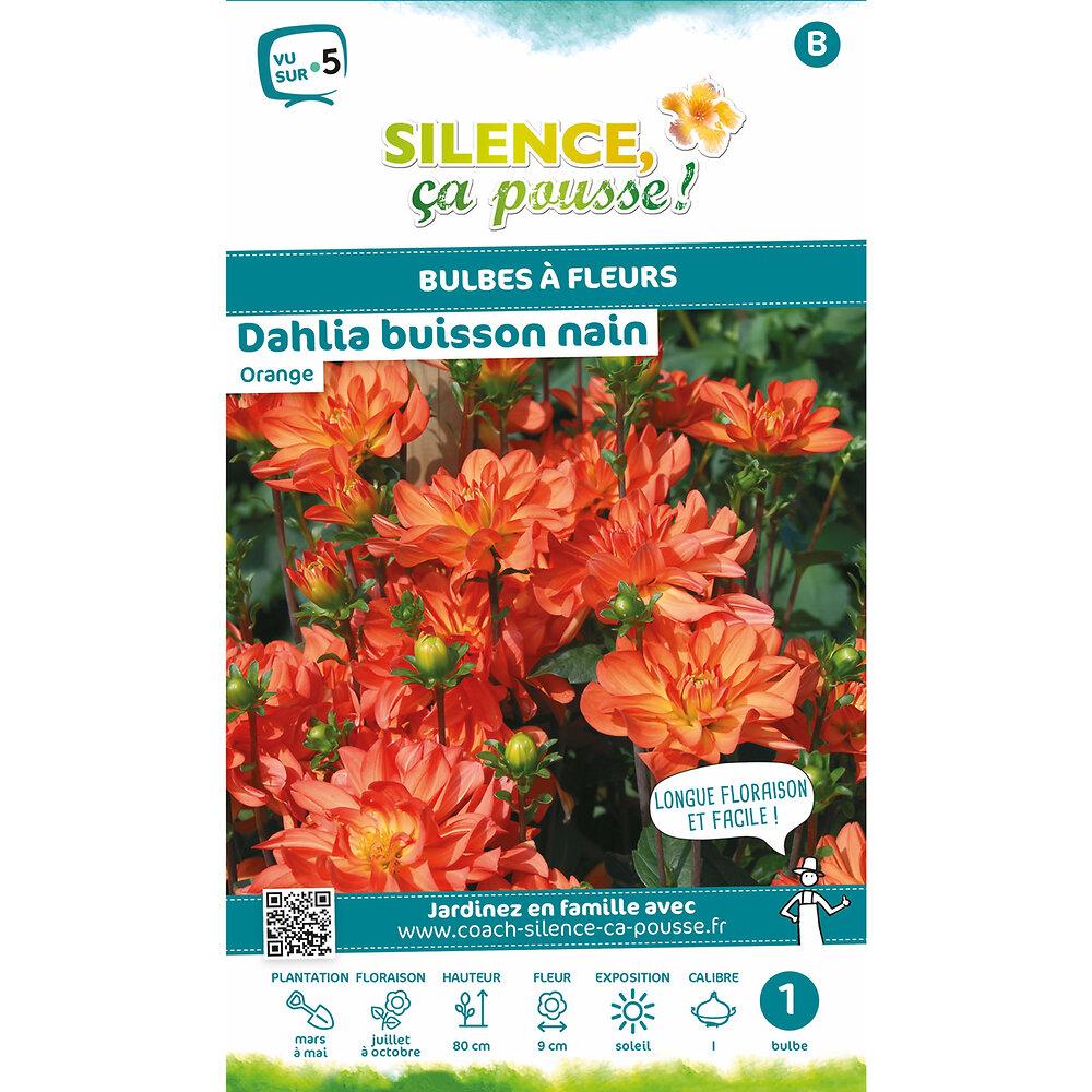 Bulbe à fleur Dahlia buisson nain jaune orange I x1