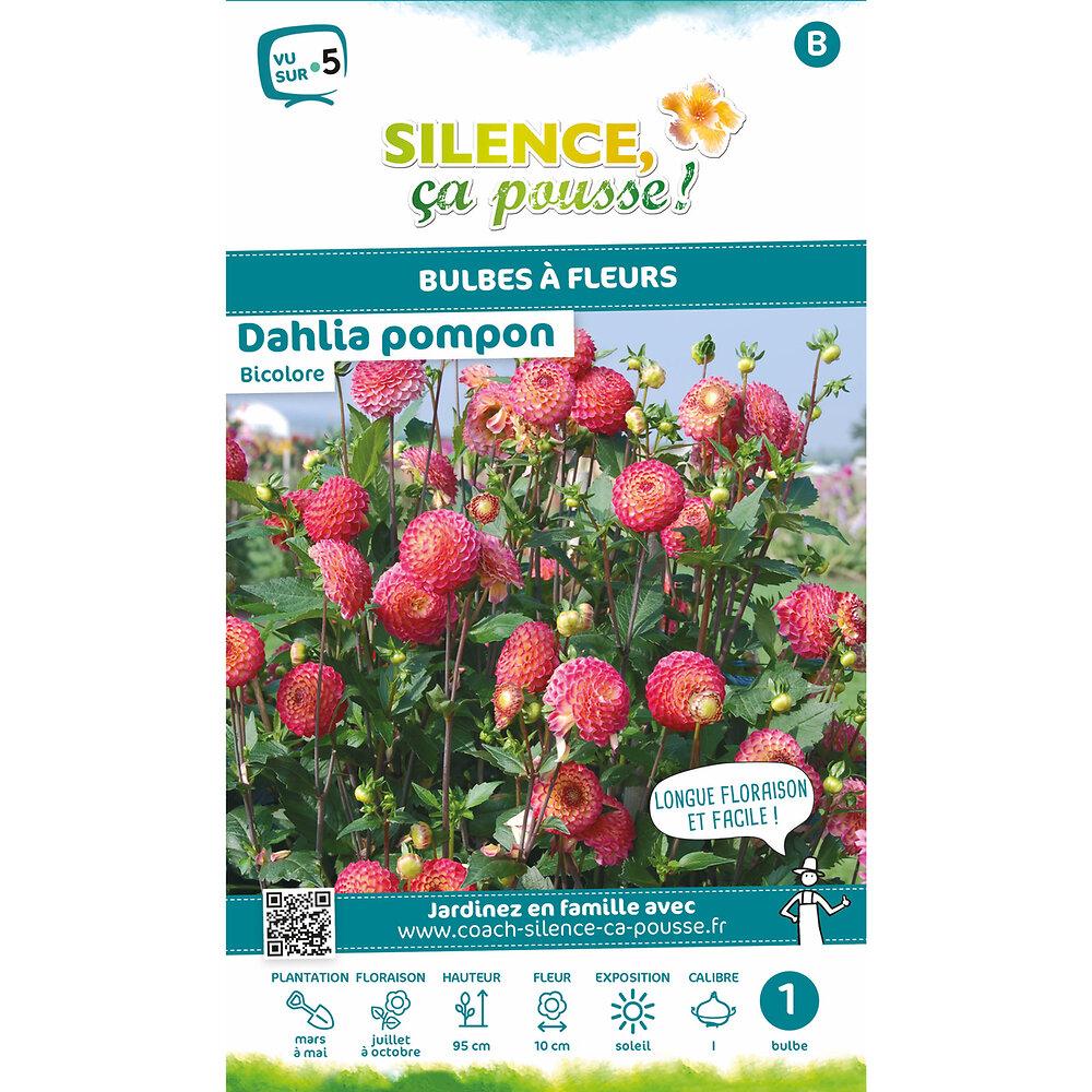 Bulbe à fleur Dahlia pompon rose et jaune I x1