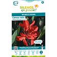 Bulbe à fleur Canna nain feuillage pourpre rouge I x1