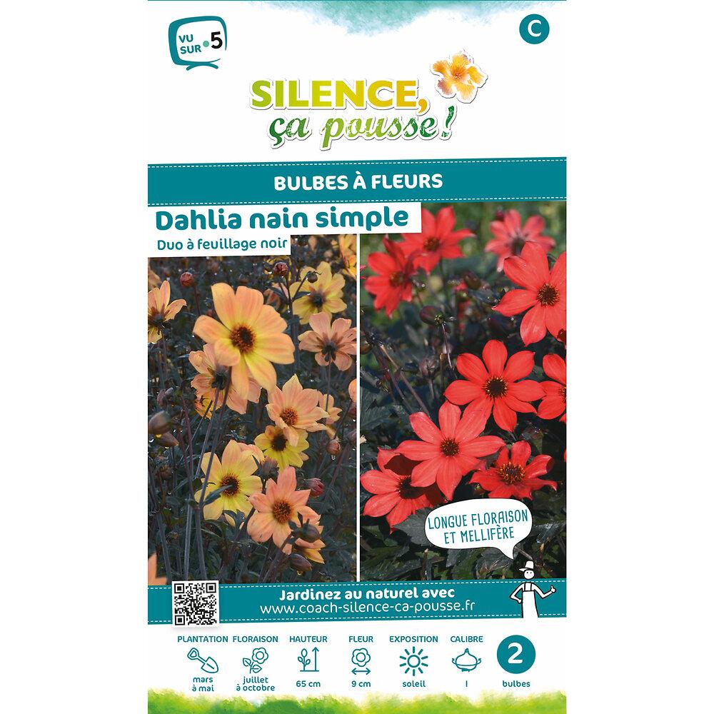 Bulbe à fleur Dahlia nain simple duo feuillage noir rouge/jaune I x2