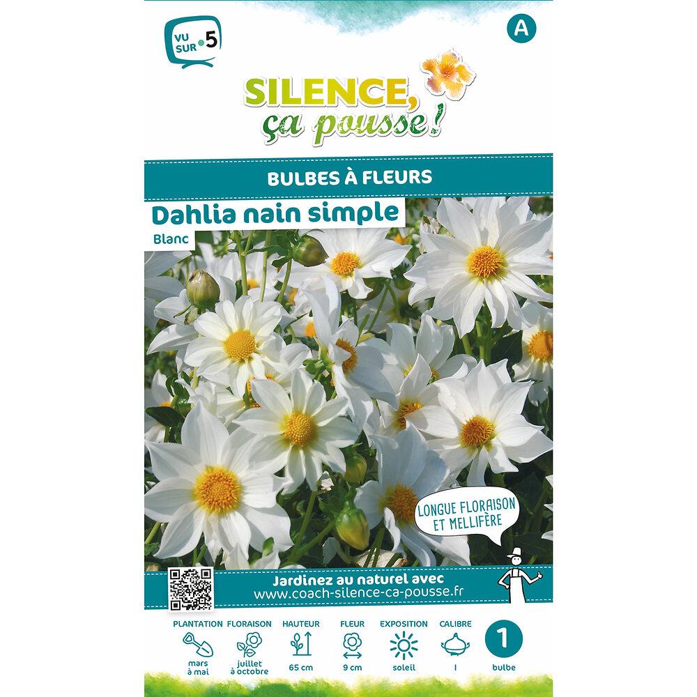 Bulbe à fleur Dahlia nain simple blanc I x1