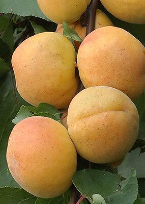 Abricotier forme gobelet en pot de 10L
