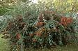 Cotoneaster Lacteus en pot de 4,5L