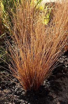 Carex en pot de 2L