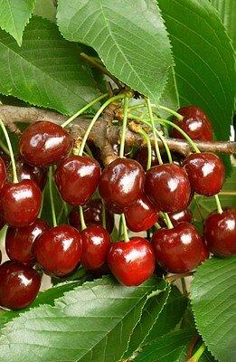 Cerisier forme gobelet en pot de 10L