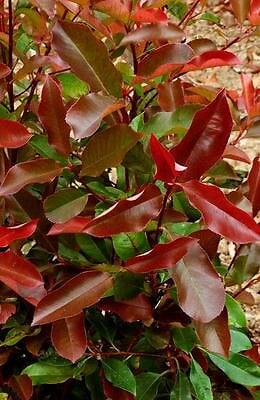 Photinia Fraseri Red Robin en pot de 7L