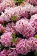 Rhododendron hybride en pot de 7L