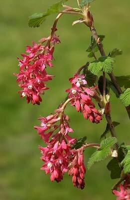 Groseillier à fleurs en pot de 4,5L