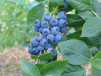 Myrtillier Corymbosum en pot de 4,5L