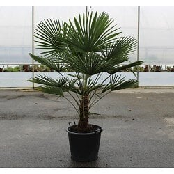 Trachycarpus fortunei c9L