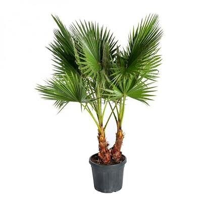 Washingtonia robusta c15L