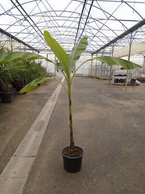 Bananier touffe en pot de 15L